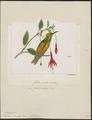 Polytmus devillei - 1820-1860 - Print - Iconographia Zoologica - Special Collections University of Amsterdam - UBA01 IZ19100195.tif