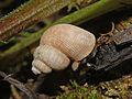 Pomatiasidae - Pomatias elegans.JPG