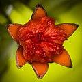Pomegranate Flower (188613575).jpeg