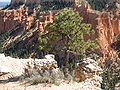 Ponderosa Pine, Farview Point, Bryce Canyon.jpg
