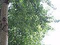 PopulusCanadensisLEAF2.jpg