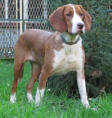 Posavac hound female (cropped).jpg