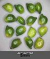Potamogeton nodosus sl75.jpg