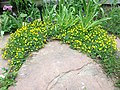 Potentilla nana around flagstone patio (19902497671).jpg