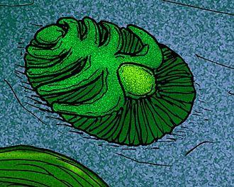 Cephalon (arthropod head) - Image: Praecambridium sigillum
