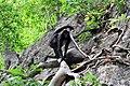 Primates - Ateles geoffroyi - 5.jpg