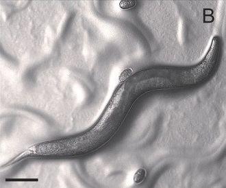 Pristionchus pacificus - Image: Pristionchus pacificus g 001 (1)