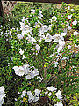 Prostanthera cuneata (5731230879).jpg