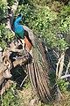 Proud Peacock.jpg