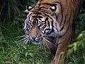 Prowling Kirana (9205184176).jpg