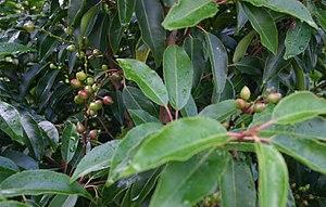 Prunus lusitanica - Foliage and immature fruit