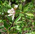 Prunus subcordata 3.jpg