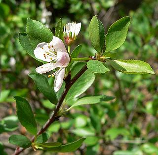 <i>Prunus subcordata</i>