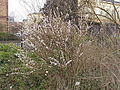 Prunus tomentosa3.jpg