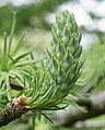 Pseudolarix amabilis female cone.jpg