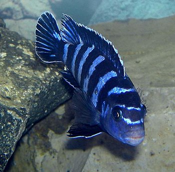 English: Pseudotropheus demasoni, Lake Malawi ...