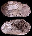 Pseudunio auricularia Holoceen Schelde.jpg
