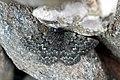 Psodos (Glacies) canaliculata (49195289672).jpg