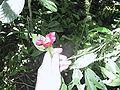 Psychotria elata 20020314.JPG