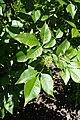 Ptelea trifoliata kz03.jpg
