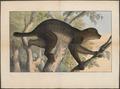 Pterodicticus potto - 1700-1880 - Print - Iconographia Zoologica - Special Collections University of Amsterdam - UBA01 IZ19700193.tif