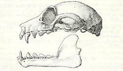 Pteropus lombocensis.jpg