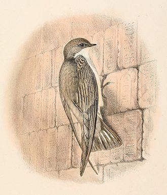 Pale crag martin - Drawing by Richard Bowdler Sharpe