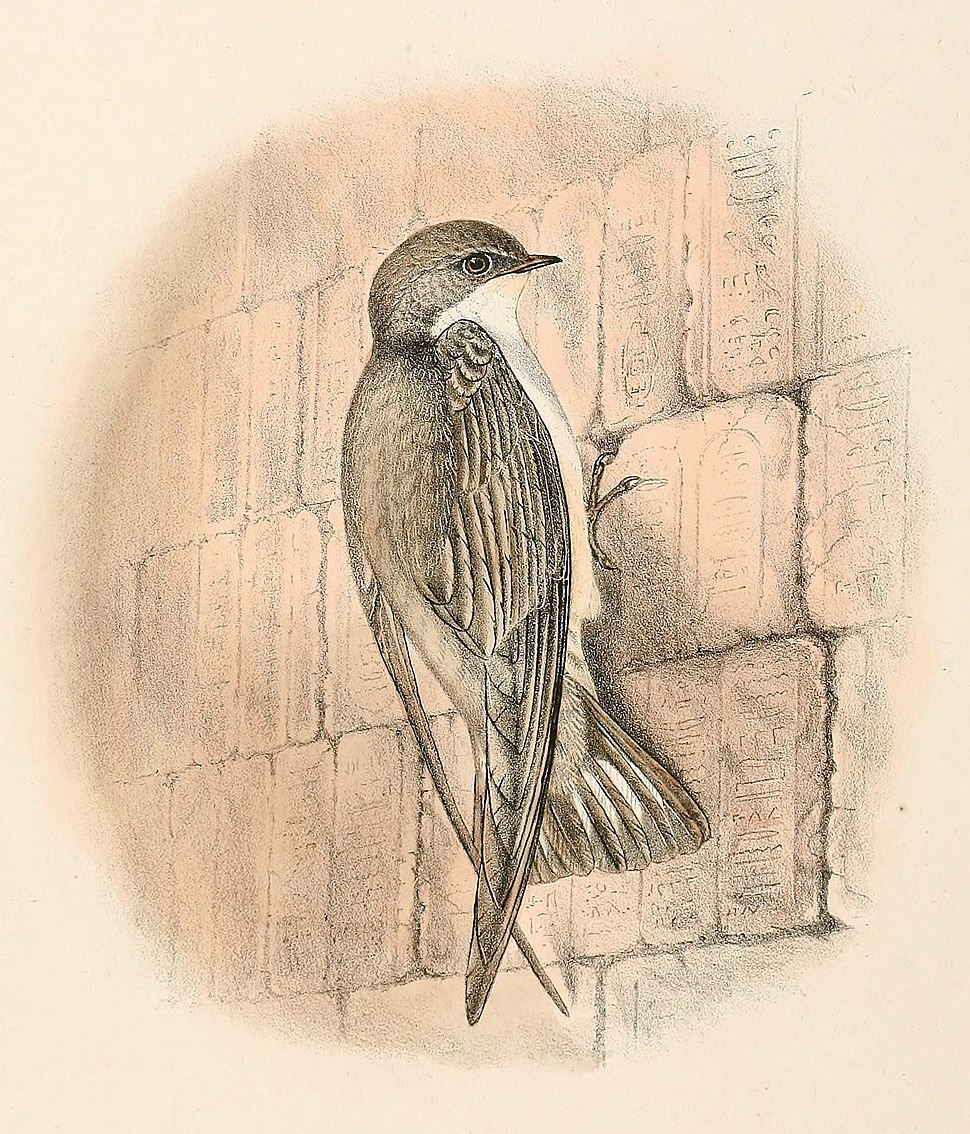 A square-tailed pale brown swallow in flight, viewed from below