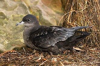 Short-tailed shearwater - Fledgling, Austins Ferry, Tasmania, Australia
