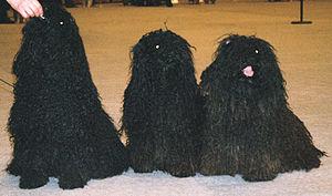 Puli - Black Pulis