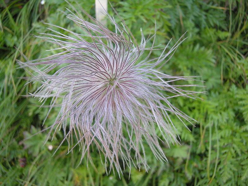 Image:Pulsatilla alpina fruit.jpg