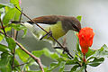 Purple-rumped Sunbird - female.jpg