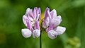 Purple Crownvetch (Securigera varia) - Guelph, Ontario.jpg