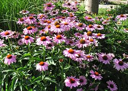 Purple coneflowers.jpg