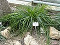 Puya mirabilis - Botanischer Garten Freiburg - DSC06337.jpg