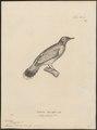 Pycnonotus melanocephalus - 1700-1880 - Print - Iconographia Zoologica - Special Collections University of Amsterdam - UBA01 IZ16400031.tif