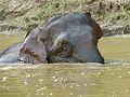 Pygmy Elephant (Elephas maximus borneensis) male (8074173086).jpg