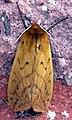 Pyrrharctia isabellaPCCP20040723-5831B.jpg
