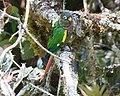 Pyrrhura calliptera - Reserva Bosque Guajira.jpg