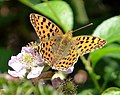 Queen of Spain Fritillary (Issoria lathonia) - Flickr - gailhampshire.jpg