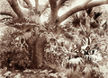 Queensland State Archives 2201 Staghorn ferns at Acclimatisation Gardens 1897.png