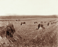 Queensland State Archives 3988 Reaper binder stooks and harvesting thirtysecond crop of wheat at Green Hills Farm near Warwick 16 November 1894.png