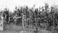 Queensland State Archives 4172 Scenes on farm of Mr Davidson Beenleigh September 1933.png