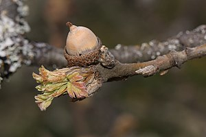 Quercus garryana - As the fruit matures, the involucre hardens and becomes a shallow receptacle that contains an acorn.