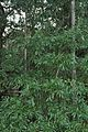 Quercus laurifolia (23518168053).jpg