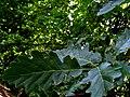 Quercus petraea IMG 5602.jpg