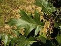 Quercus velutina 002.jpg