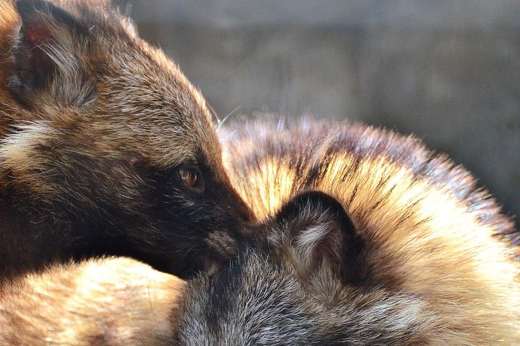 Raccoon Dog of Nogeyama Zoo (8969051741)