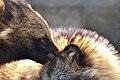 Raccoon Dog of Nogeyama Zoo (8969051741).jpg
