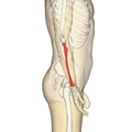 Radius - lateral view2.png